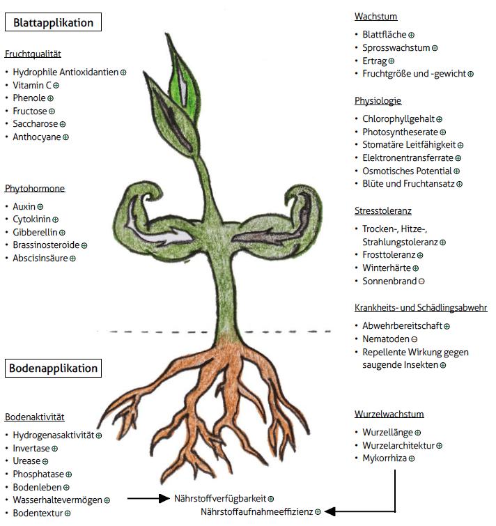 Abbildung 2: Zusammenfassung der hervorzuhebenden positiven Effekte der Algenextrakte auf Pflanze und Boden. (+)fördert/erhöht; (-)vermindert/senkt